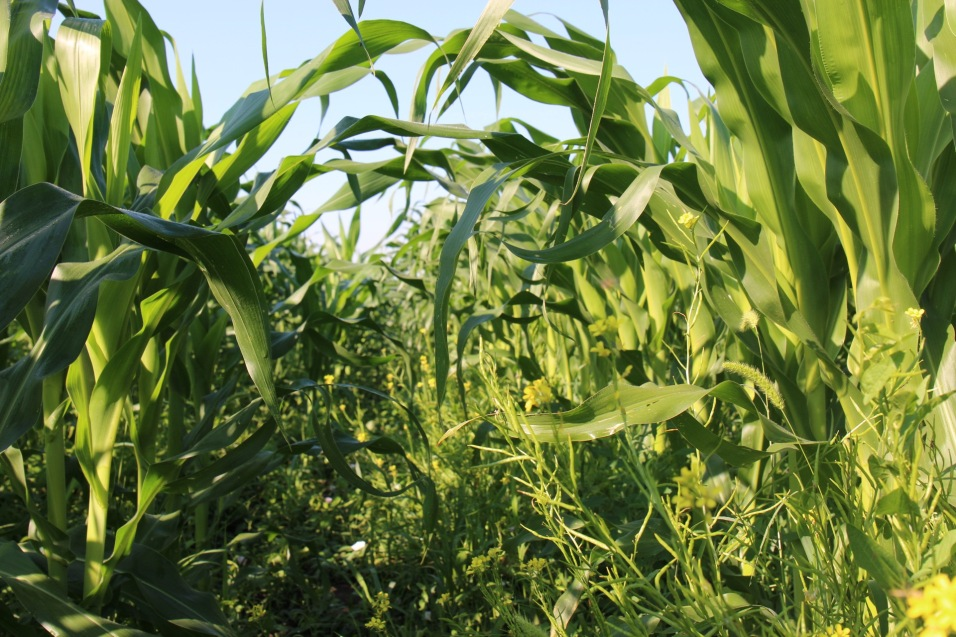 The thick leafs of corn that covers the site at Idjos